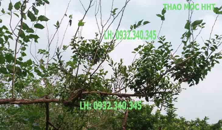 tầm gửi cây dâu tươi